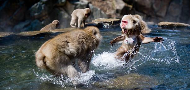 Fighting monkeys picture id108201501?b=1&k=6&m=108201501&s=612x612&w=0&h=wvoawkzyukunfir65mu4ucykqspjtyhq2kqpdloj8vs=