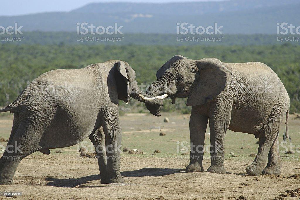 Lucha de Dos elefantes machos foto de stock libre de derechos