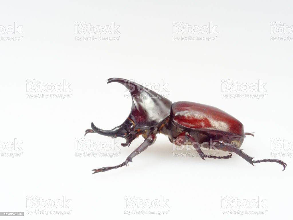 Fighting Or Rhinoceros Beetle Isolated On White Background Stock ...