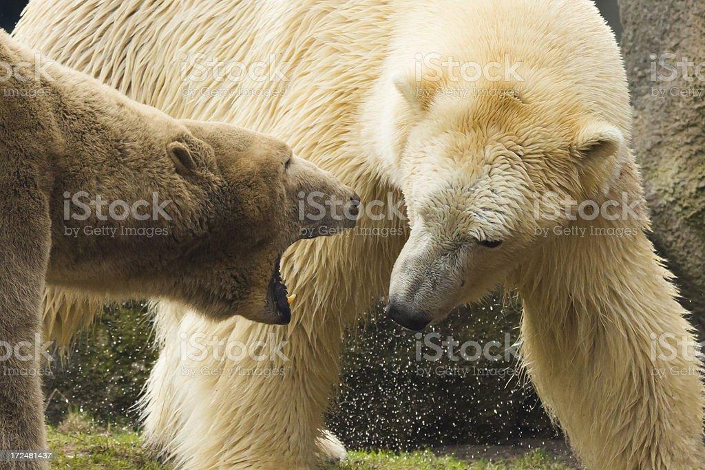 Fighting Polar Bears. royalty-free stock photo