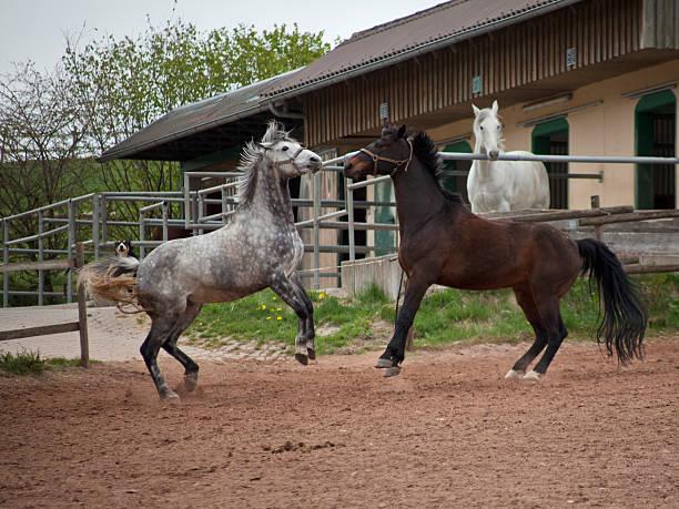 fighting, viehzucht pferde - pferdespiele kostenlos spielen stock-fotos und bilder