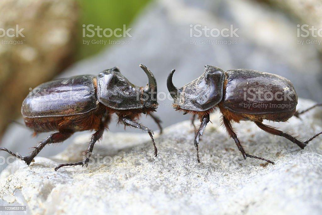 Fighting Rhino beetle stock photo