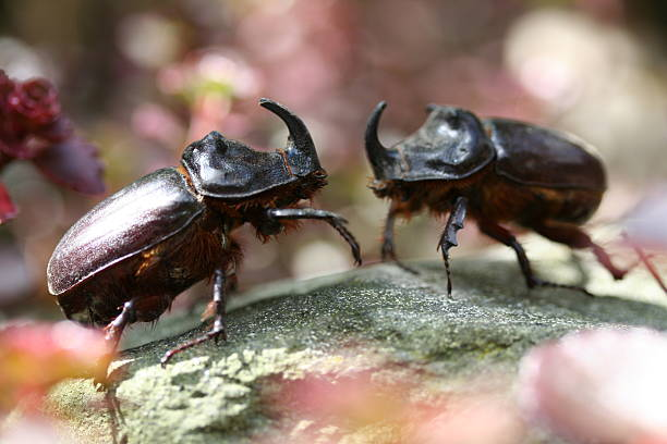 fighting rhino beetles stock photo