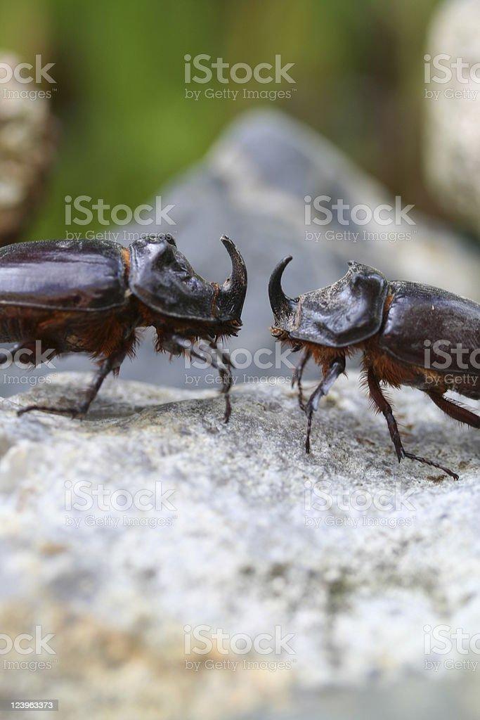 Fighting rhino beetles royalty-free stock photo