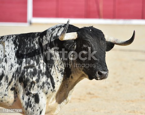 Fighting spanish bull