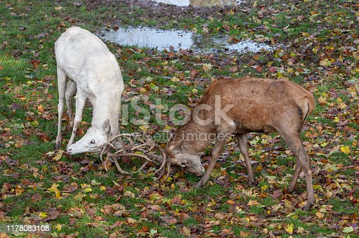 465666157 istock photo Fighting stags 1178083108