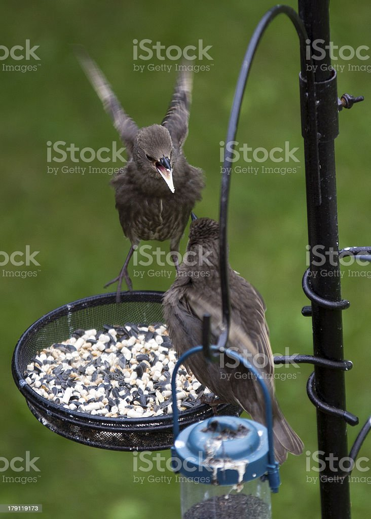 Fighting starlings royalty-free stock photo