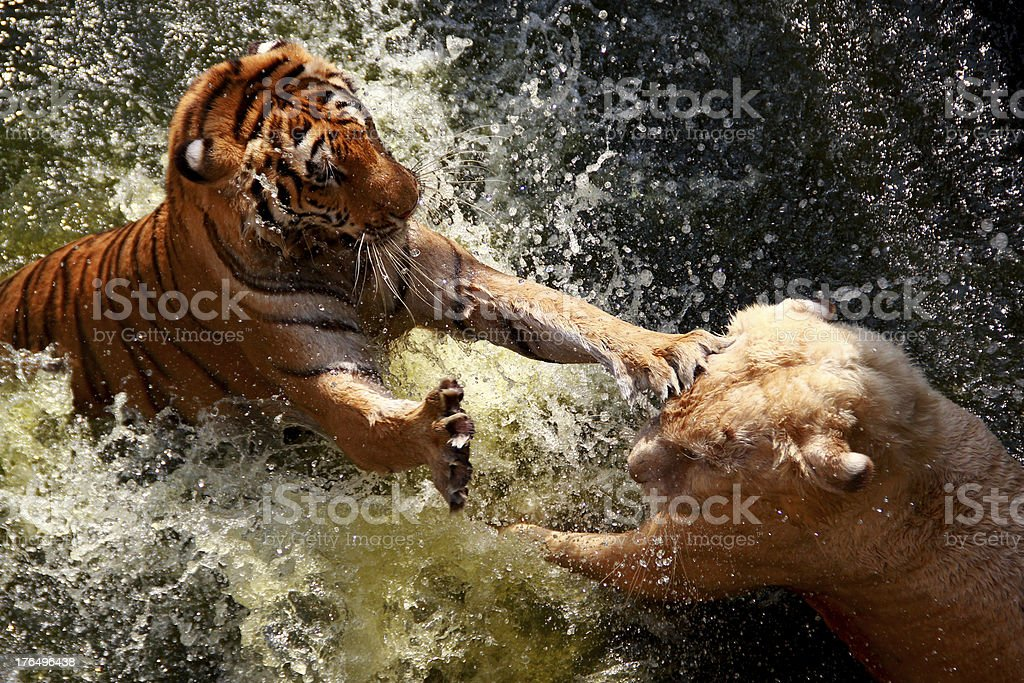 Fighting Tiger royalty-free stock photo