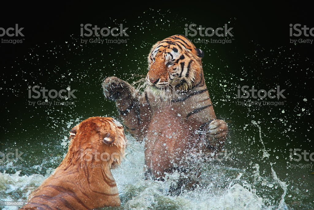 Fighting Tigers royalty-free stock photo