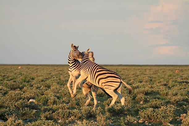 Fighting Zebra in Etosha stock photo