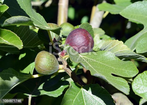 Closeup of figs growing on a fig tree in a backyard garden.