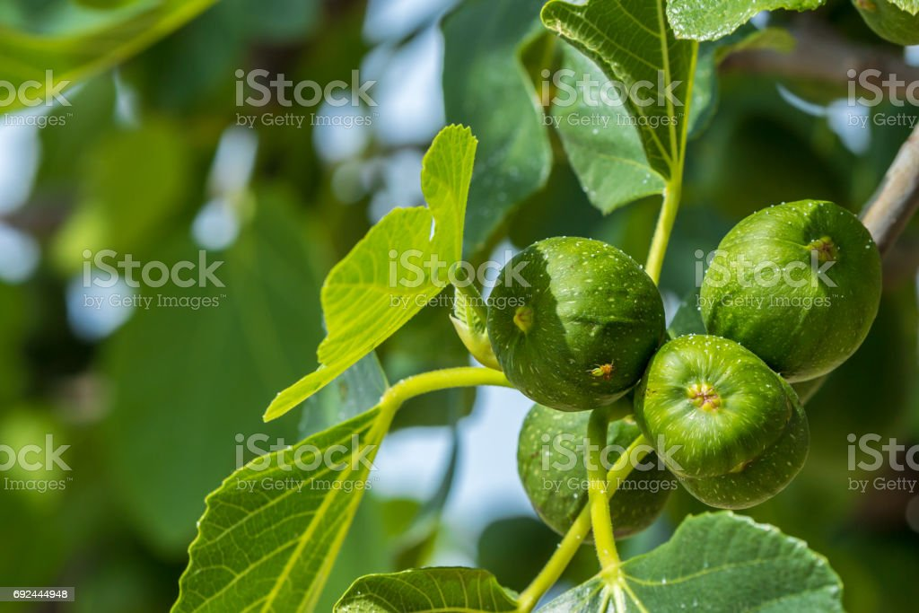 figs on a fig tree stock photo
