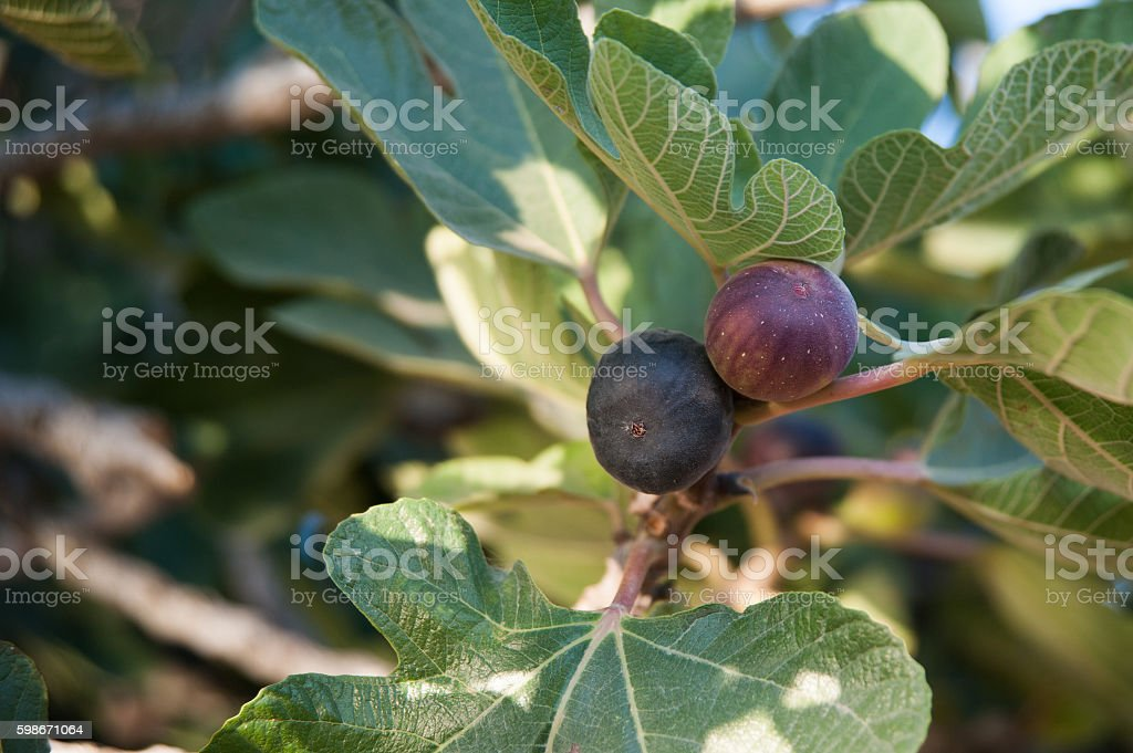 Fig's on the branch stock photo