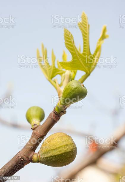Fig-tree bud