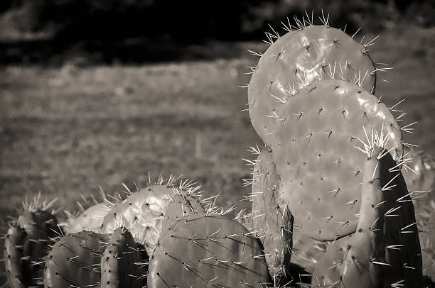figuier de barbarie en noir et blanc - opuntia robusta fotografías e imágenes de stock
