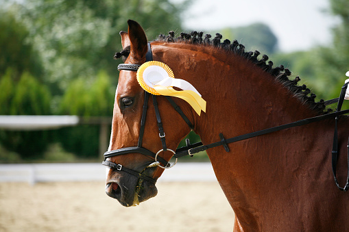 istock Fiirst prize rosette in a dressage horse's head 480283256