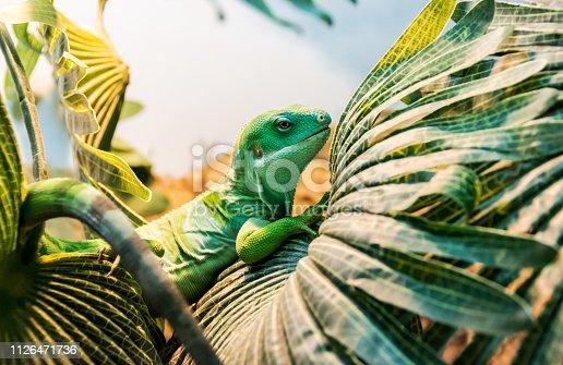 fiji banded iguana on the palm leaf