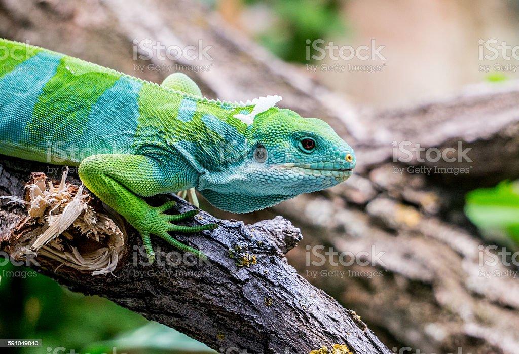 Fiji Banned Iguana stock photo