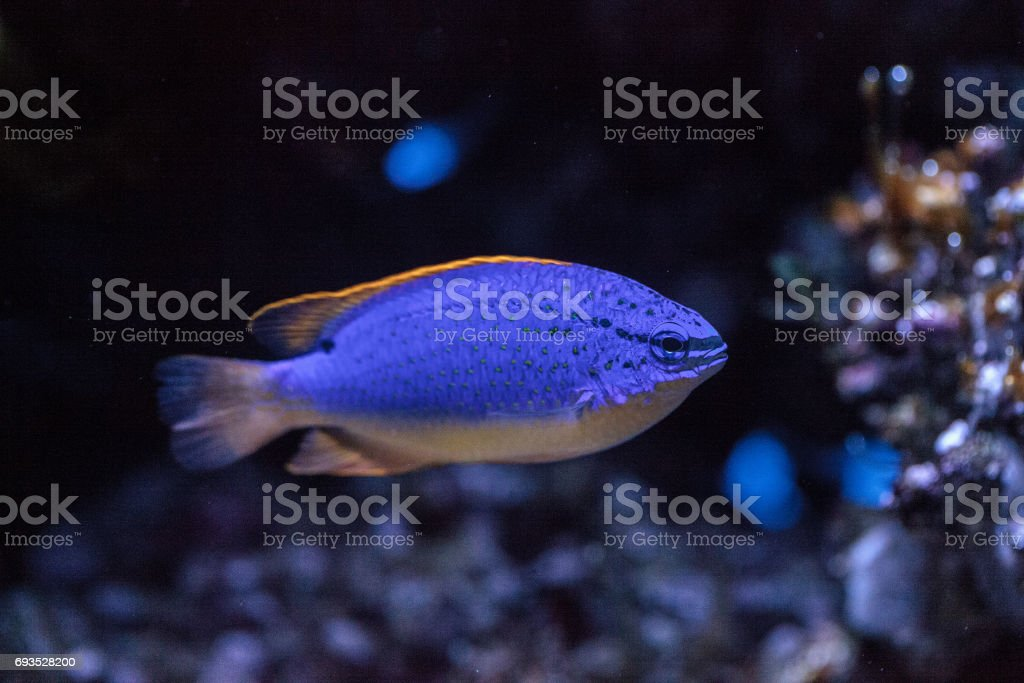 Fiji Blue devil damselfish chrysiptera parasema stock photo