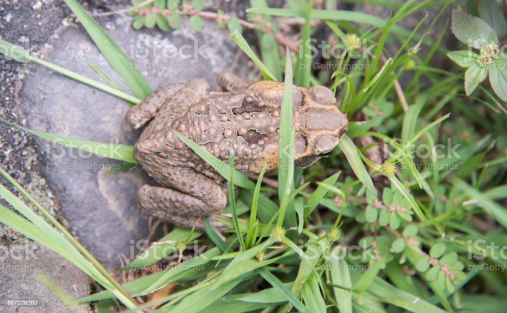 Fijian Cane Toad stock photo