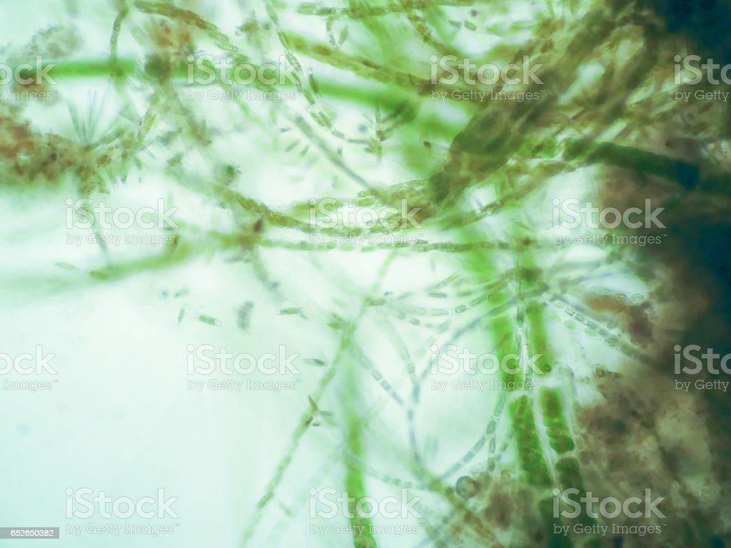 Filamentous algae stock photo