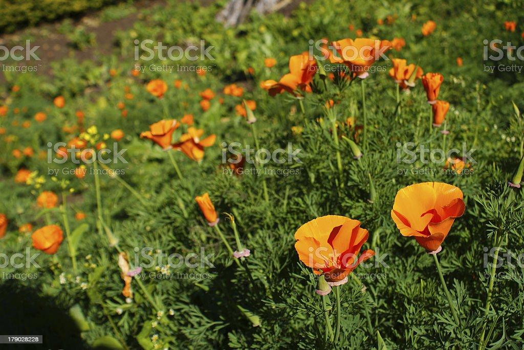 Filed orange flower royalty-free stock photo