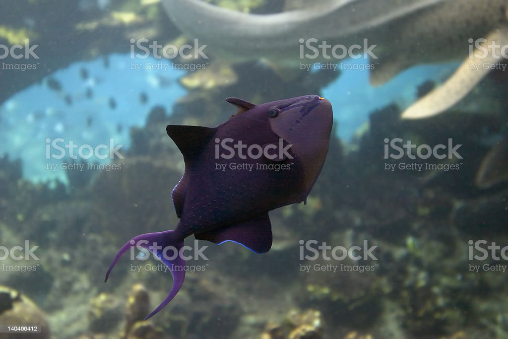 Filefish royalty-free stock photo