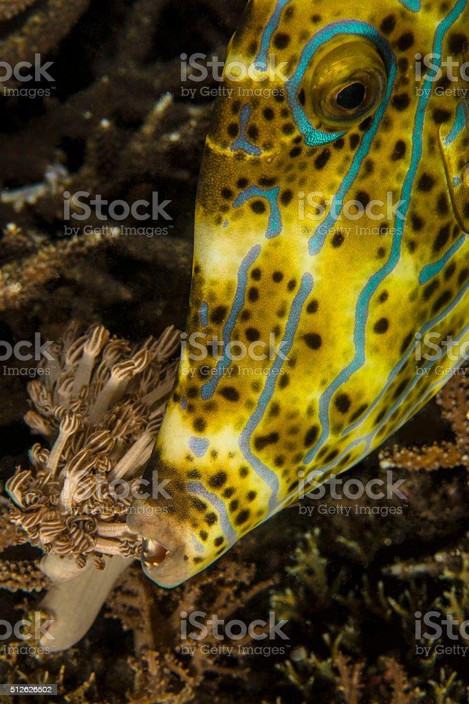 Filefish stock photo