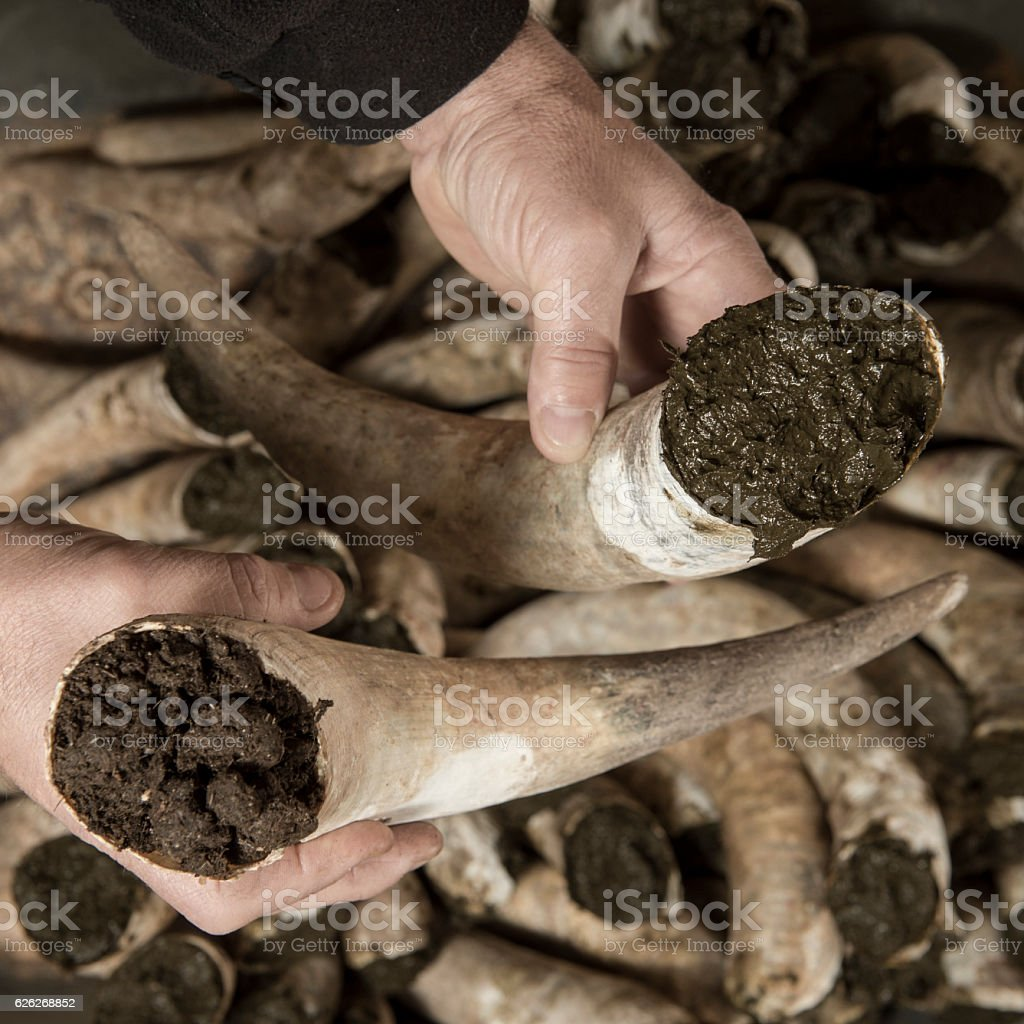 Filling cow horns with manure to make biodynamic in vineyards - foto stock