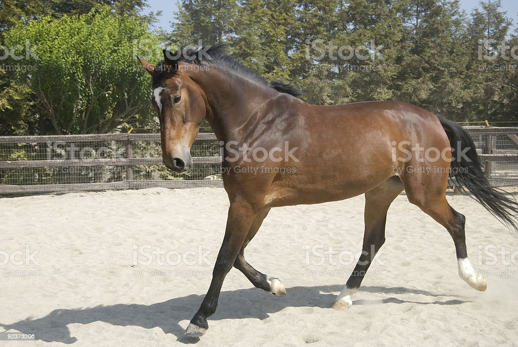 Filly trotting gracefully royalty-free stock photo