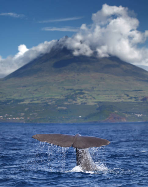 Fin of a sperm whale in front of volcano Pico, Azores islands Fin of a sperm whale in front of volcano Pico, Azores islands cetacea stock pictures, royalty-free photos & images