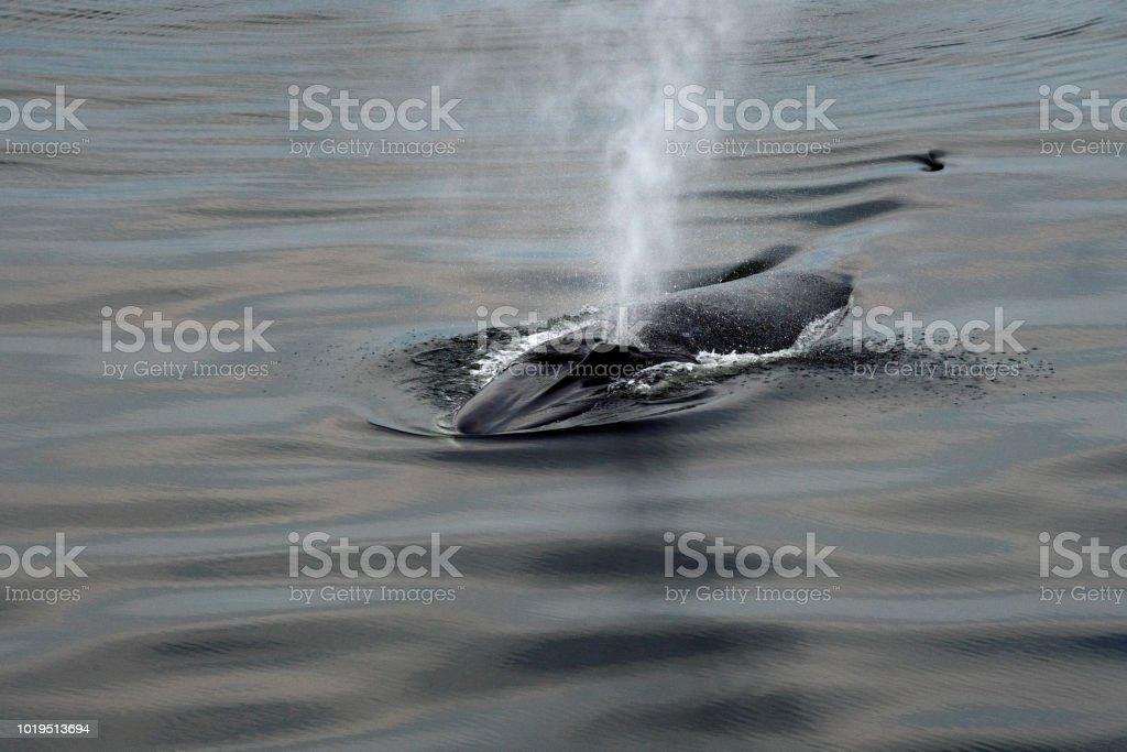 Ballena de aleta que sopla aire a través del espiráculo - foto de stock