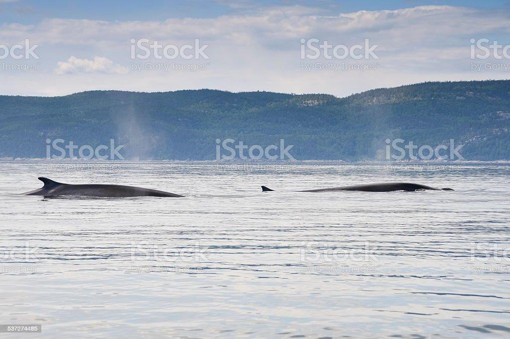 Aleta de ballenas, río St. Lawrence, Quebec (Canadá) - foto de stock