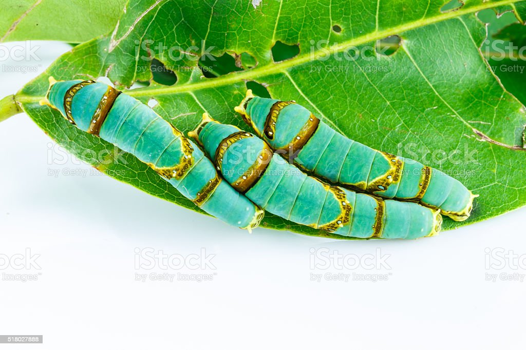 Final instar caterpillar of banded swallowtail butterfly on leaf stock photo