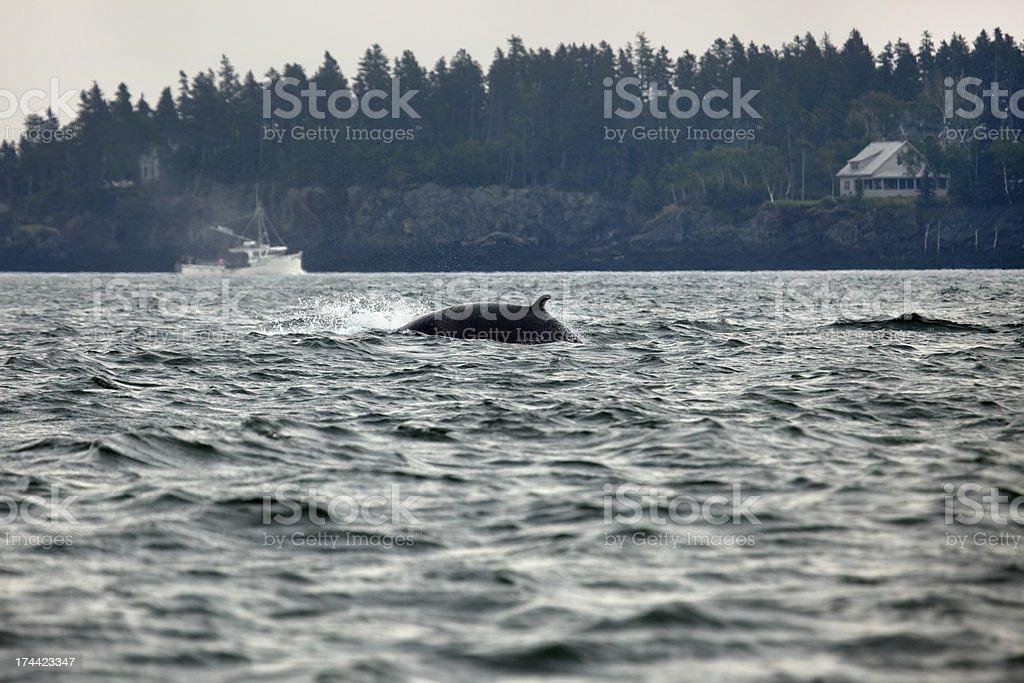 Avistamiento de ballenas en Maine Finback Passamquoddy a la bahía - foto de stock