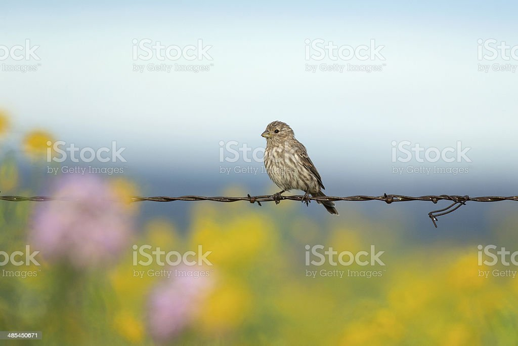 Finch and Wildflowers stock photo