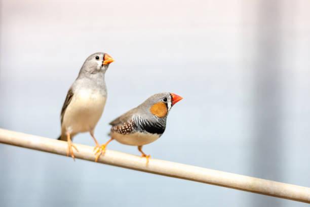 finke vögel am ast. schöne bunte haustiere. - zebrafinken stock-fotos und bilder