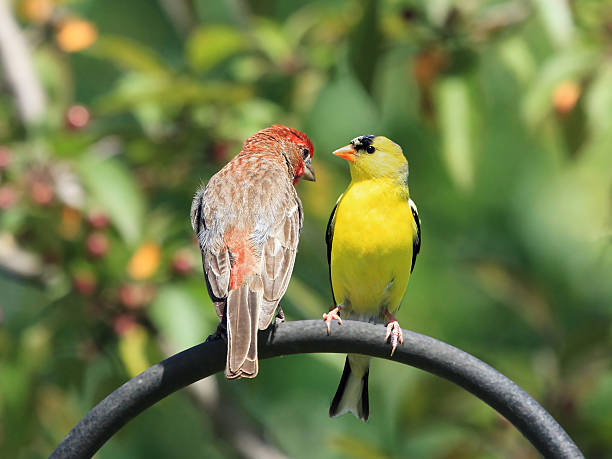 Finch Buddies stock photo