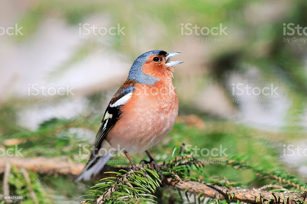Finch sings in the woods standing stock photo