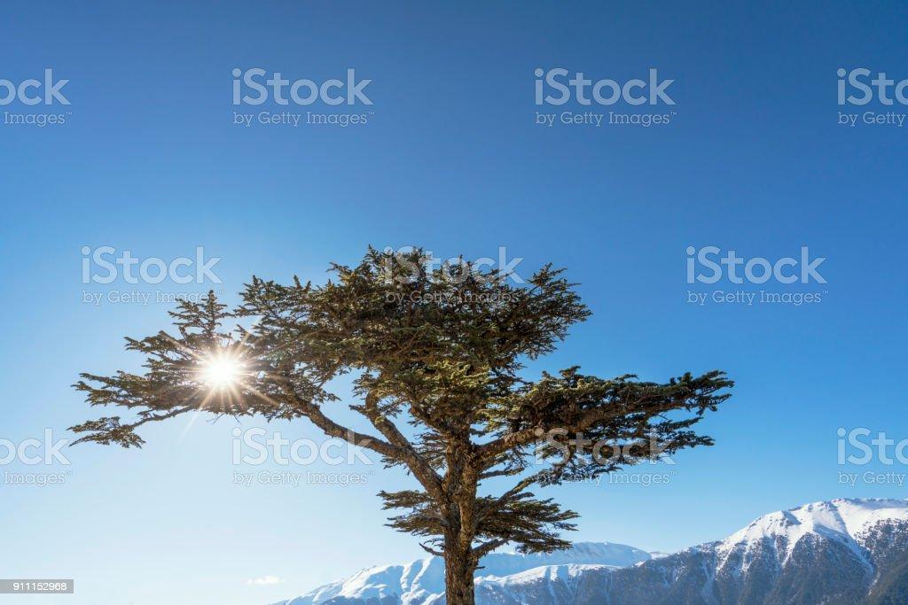 Cedar tree in the pine forest, Antalya, Turkey