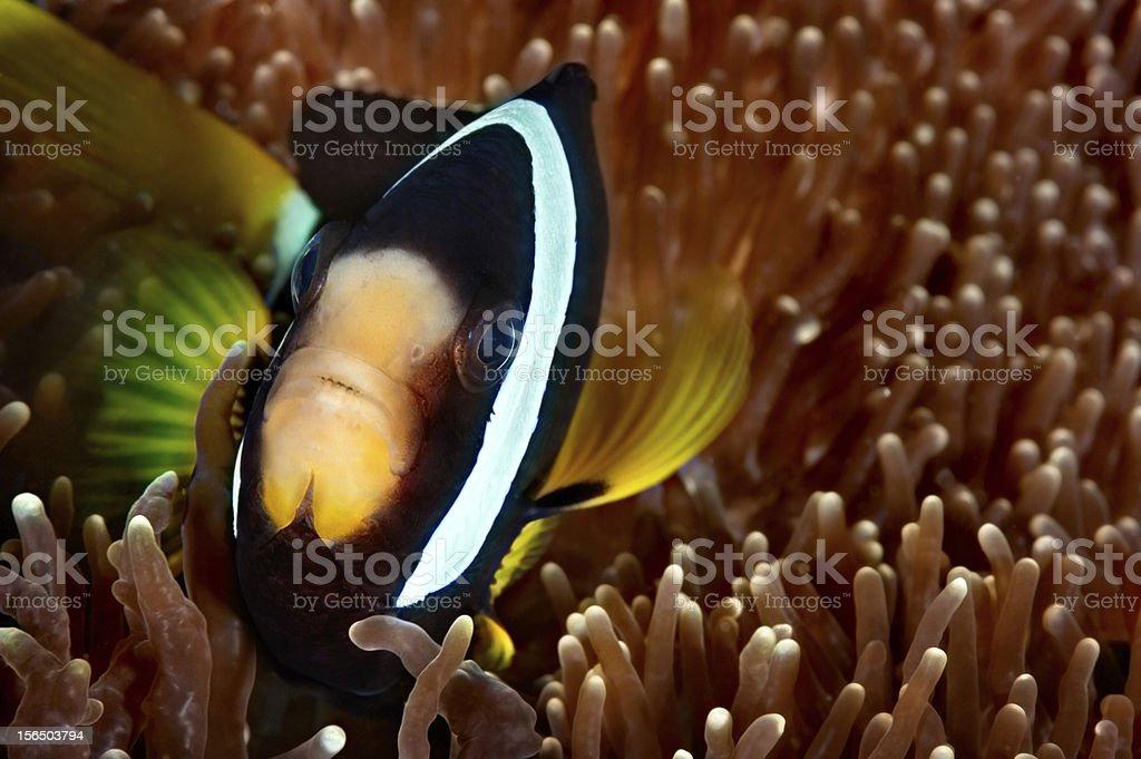 Finding Nemo royalty-free stock photo