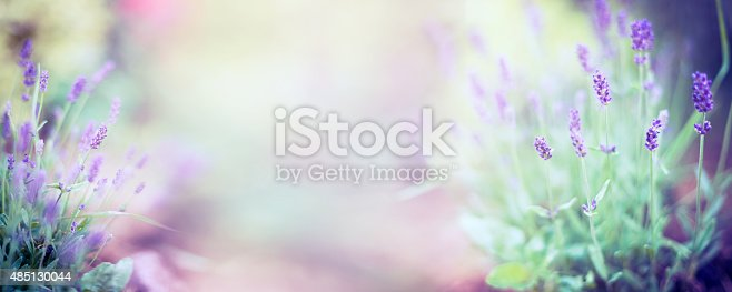 istock Fine lavender flowers plant on blurred nature background , banner 485130044