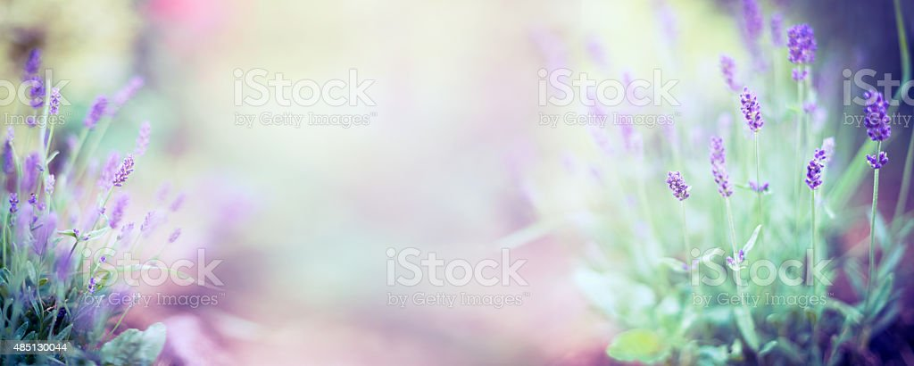 Fine lavender flowers plant on blurred nature background , banner stock photo