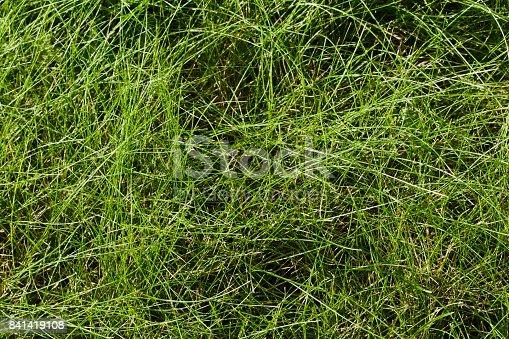 Closeup of long strands of fine green grass