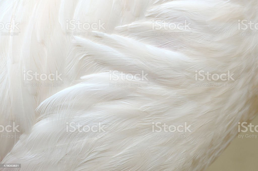 Fine pure white of Greater Flamingo feathers with details royalty-free stock photo