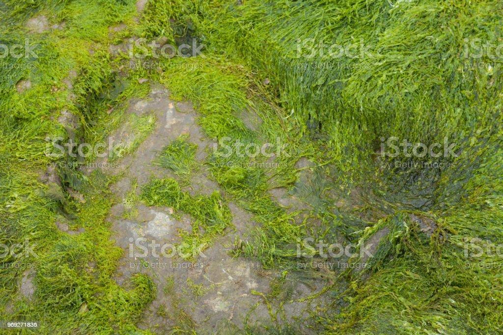Fine Seaweed Texture on The Isle Of Skye. stock photo