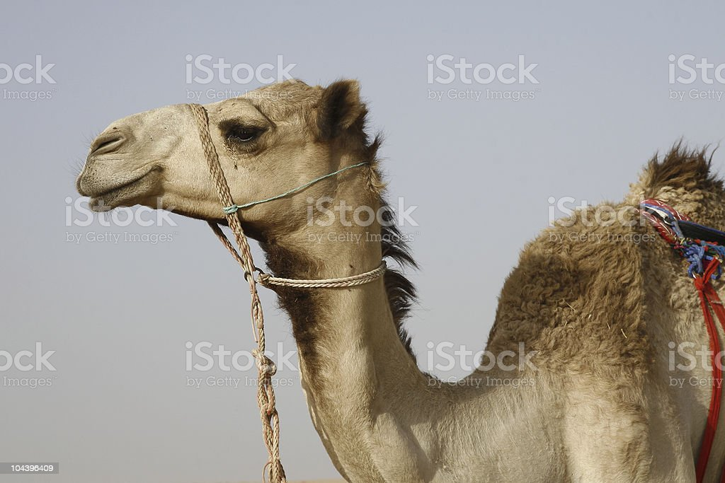Fine speciman of a Young Camel stock photo