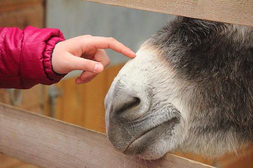 finger caressing muzzle donkey