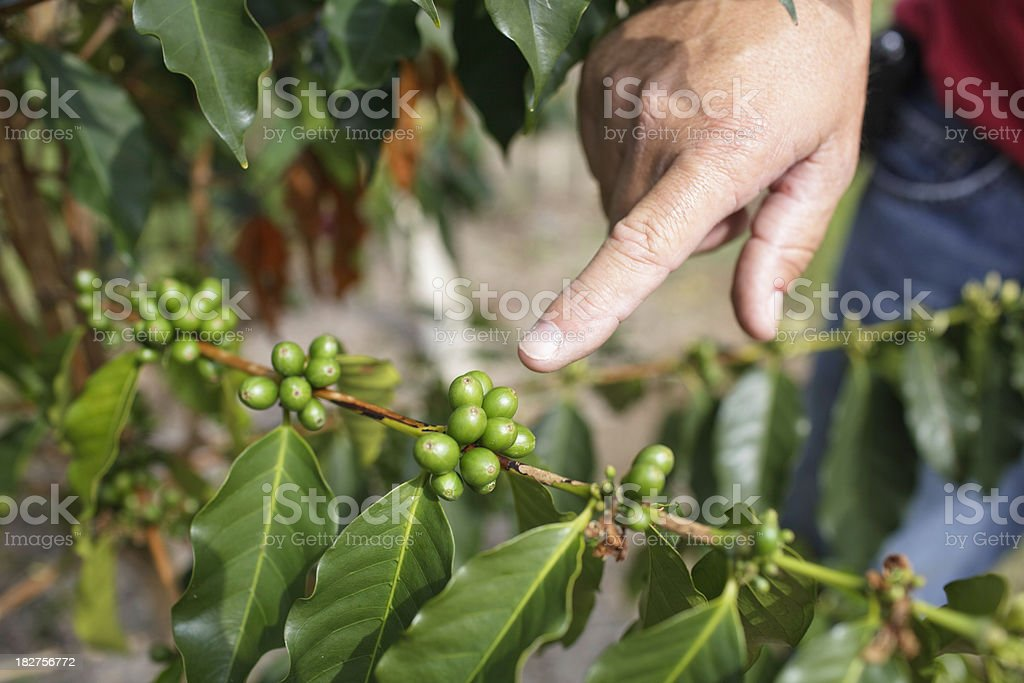Finger Pointing at Coffee Bean royalty-free stock photo