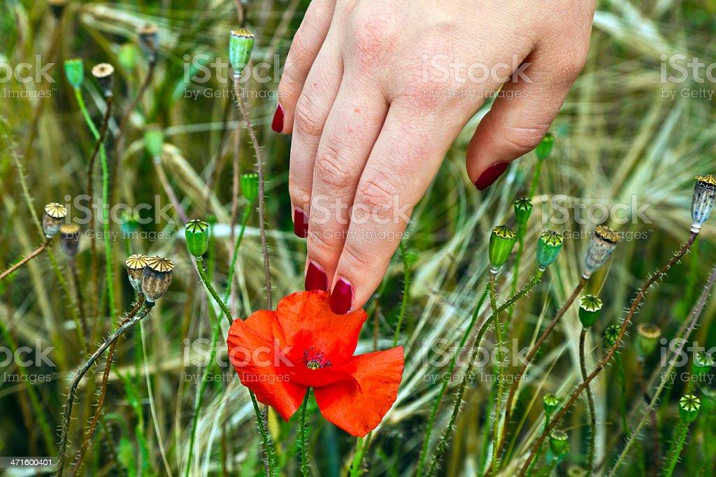 Dedo Con La Uña Rojo Tocando Una Flor Amapola De Flor Abriéndose ...